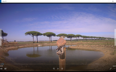 Il Gheppio (Falco tinnunculus)