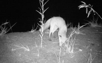 La Volpe (Vulpes vulpes) un tassello importante per la biodiversità
