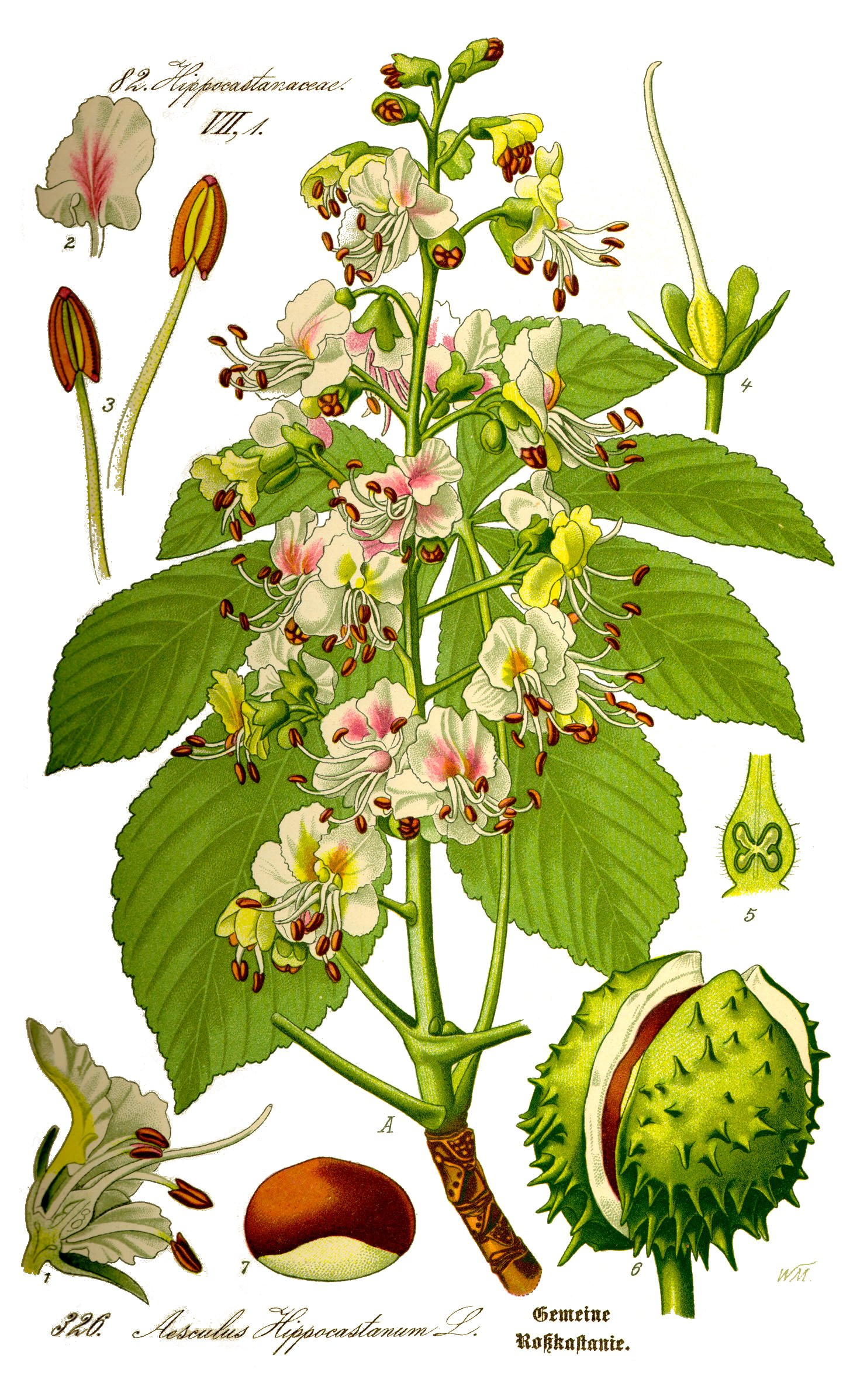 Aesculus_hippocastanum_ill_ fonte wikimedia commons