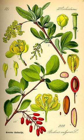 Berberis_vulgaris
