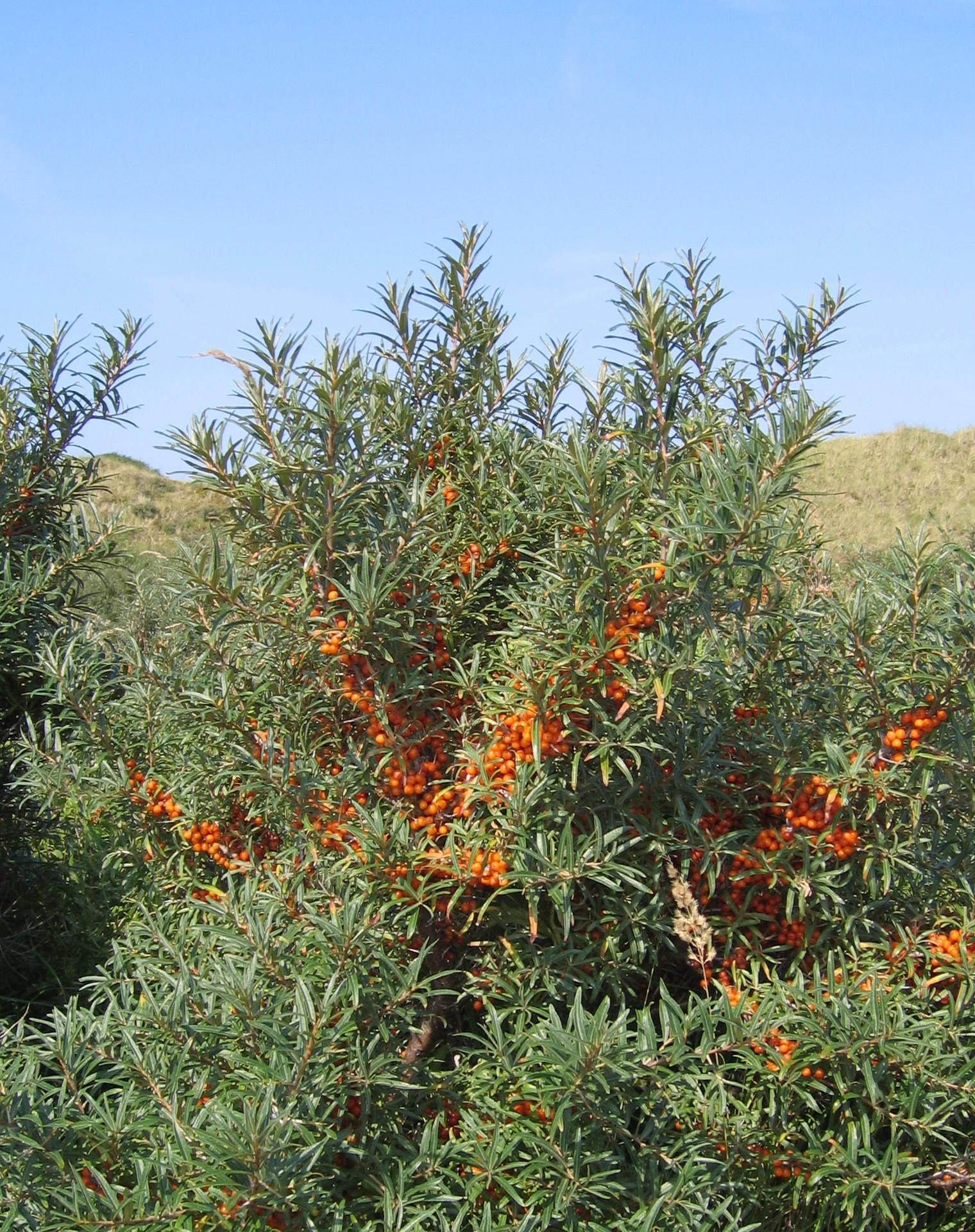 Hippophae_rhamnoides- fonte wikipedia commons