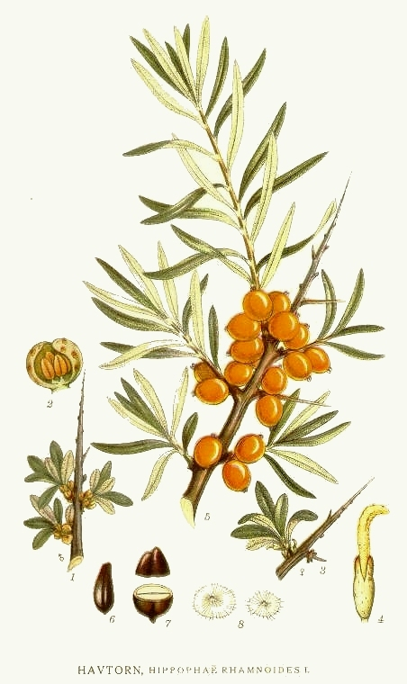 Hippophae_rhamnoides_ fonte wikipedia commons
