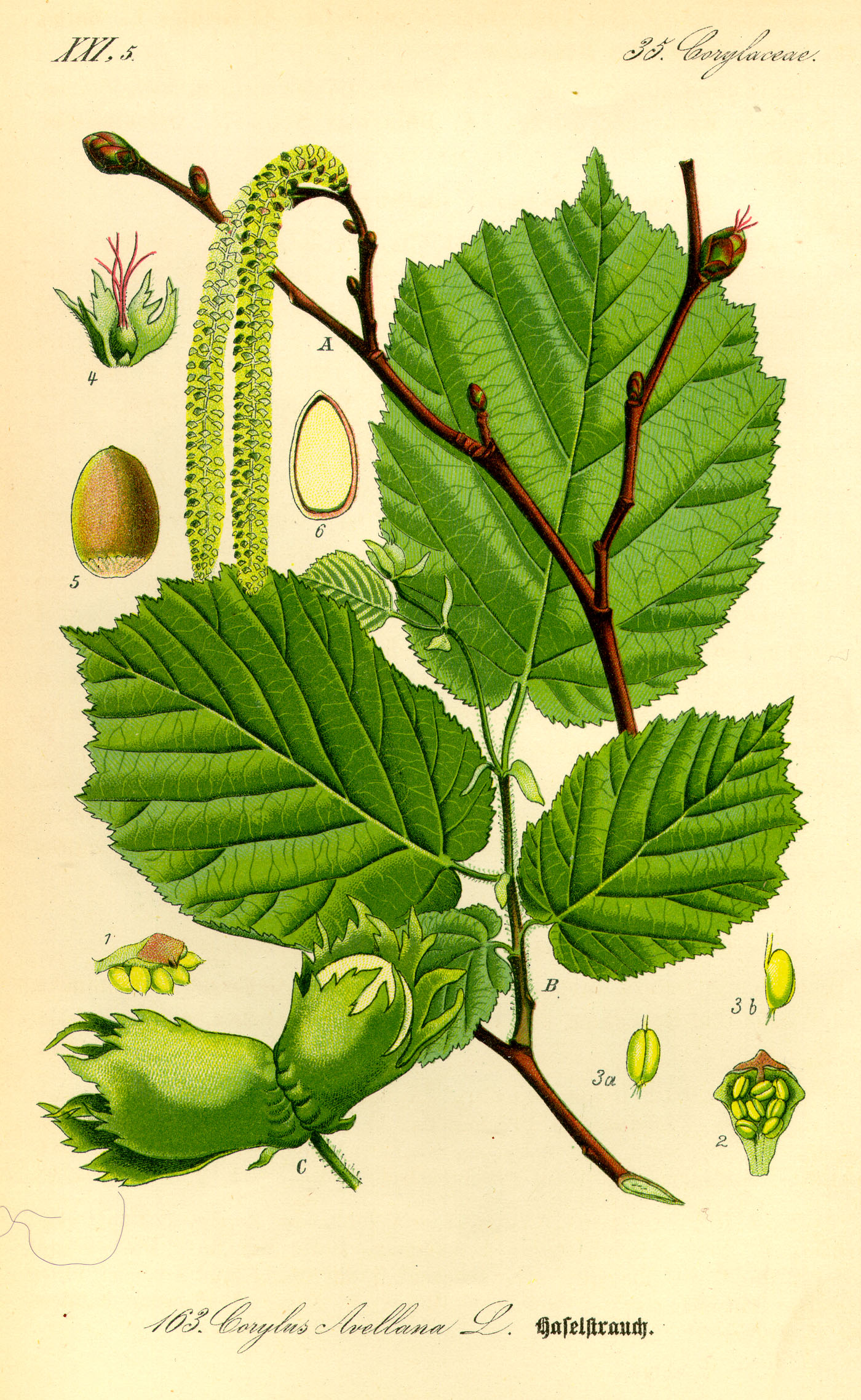 Illustration_Corylus_avellana0