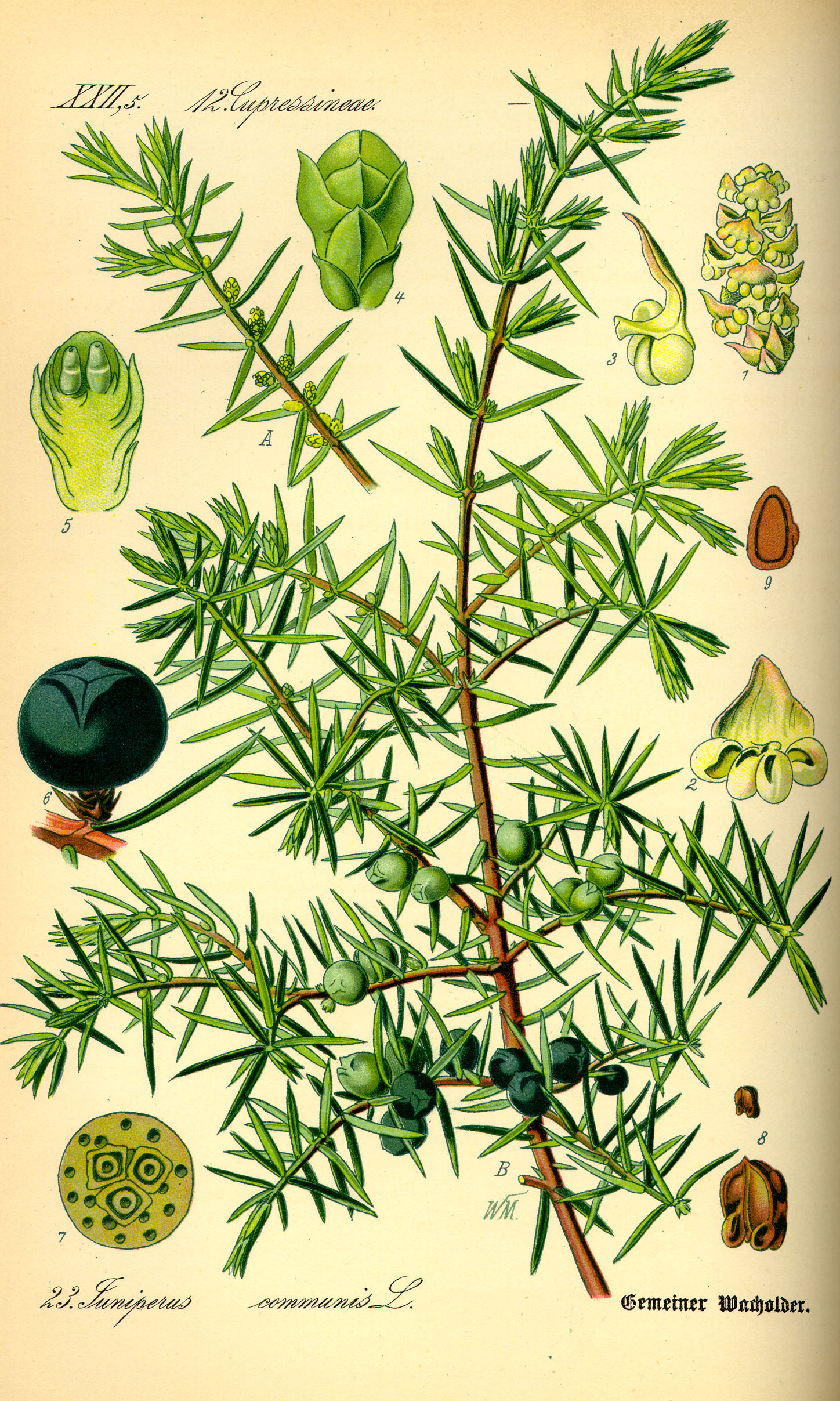 Juniperus_communis illustrazione_ fonte wikipedia commons