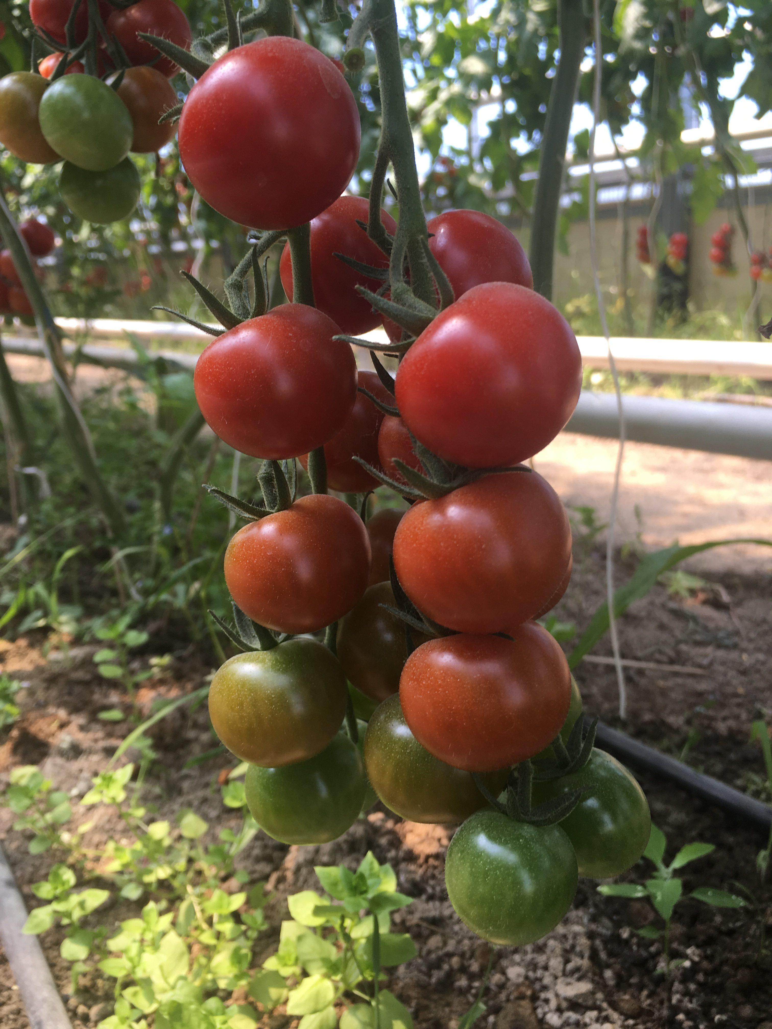 Pomodori ciliegino 2