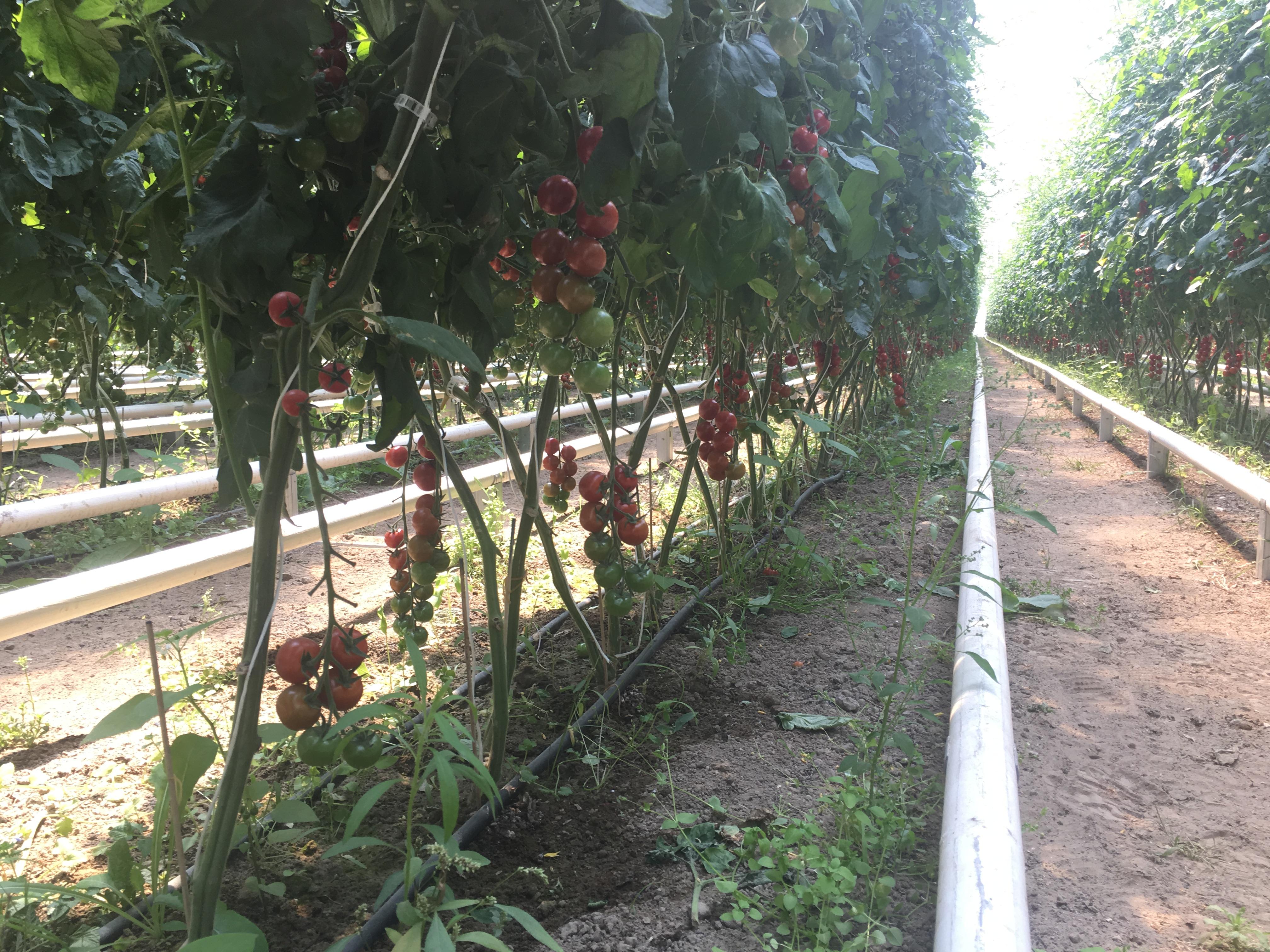 Pomodori ciliegino 3