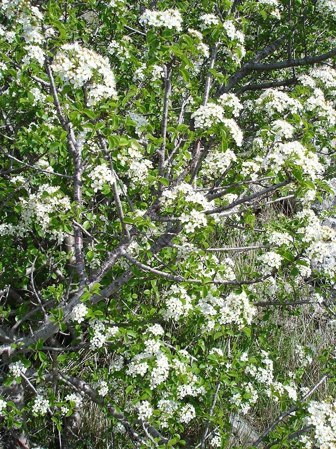 Prunus_mahaleb_ fonte wikipedia
