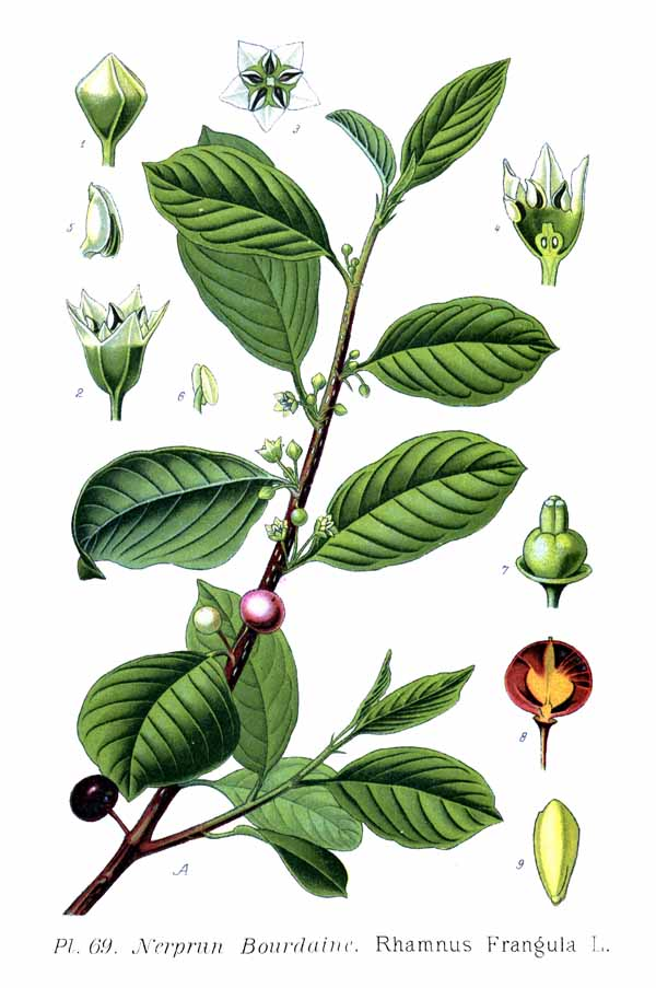 Rhamnus_Frangula_wikipedia