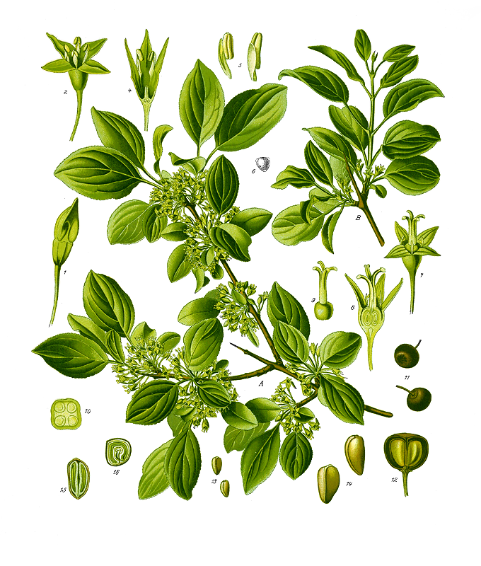Rhamnus_catharticus_fonte wikipedia commons