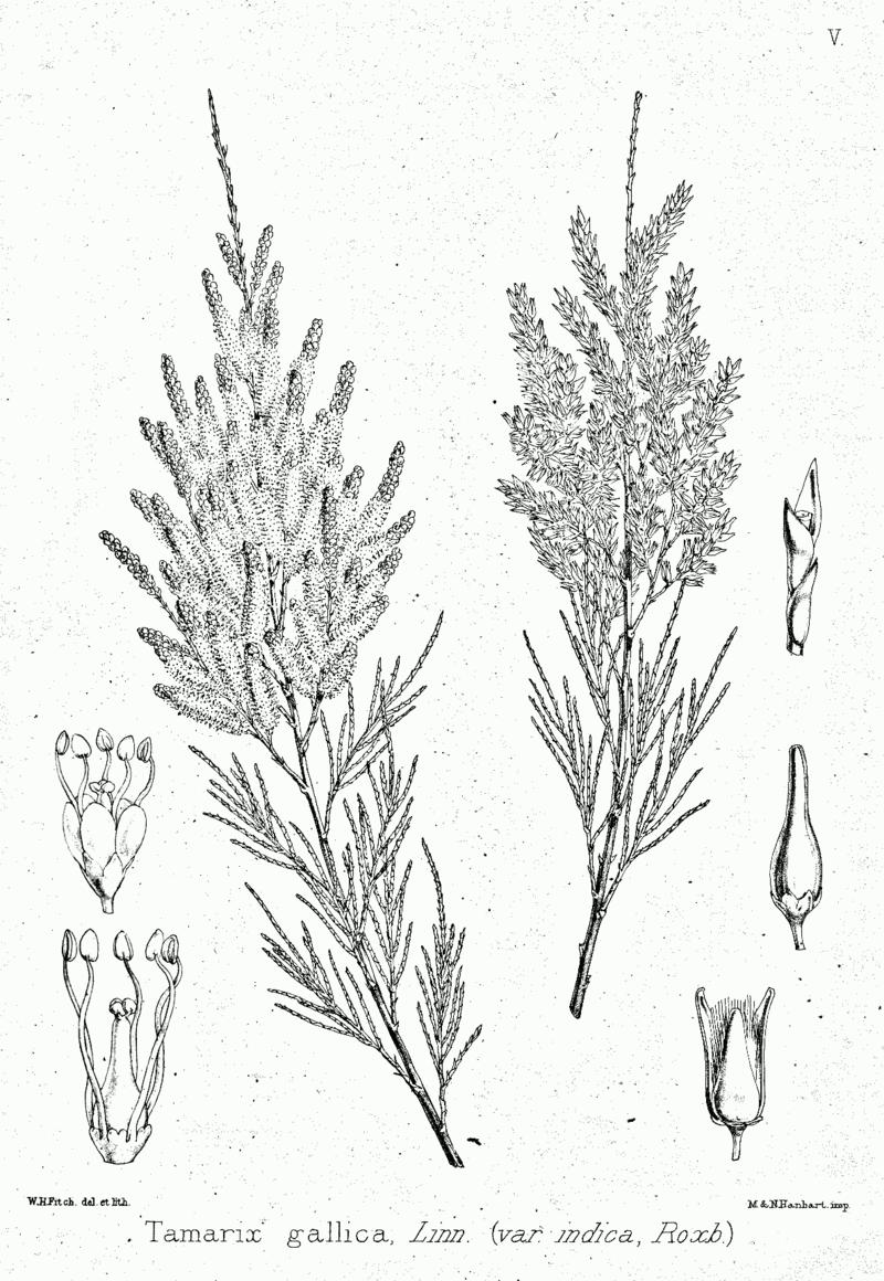 Tamarix_gallica_ fonte wikimedia commons 2
