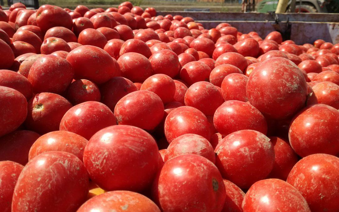 Pomodori da salsa in partenza