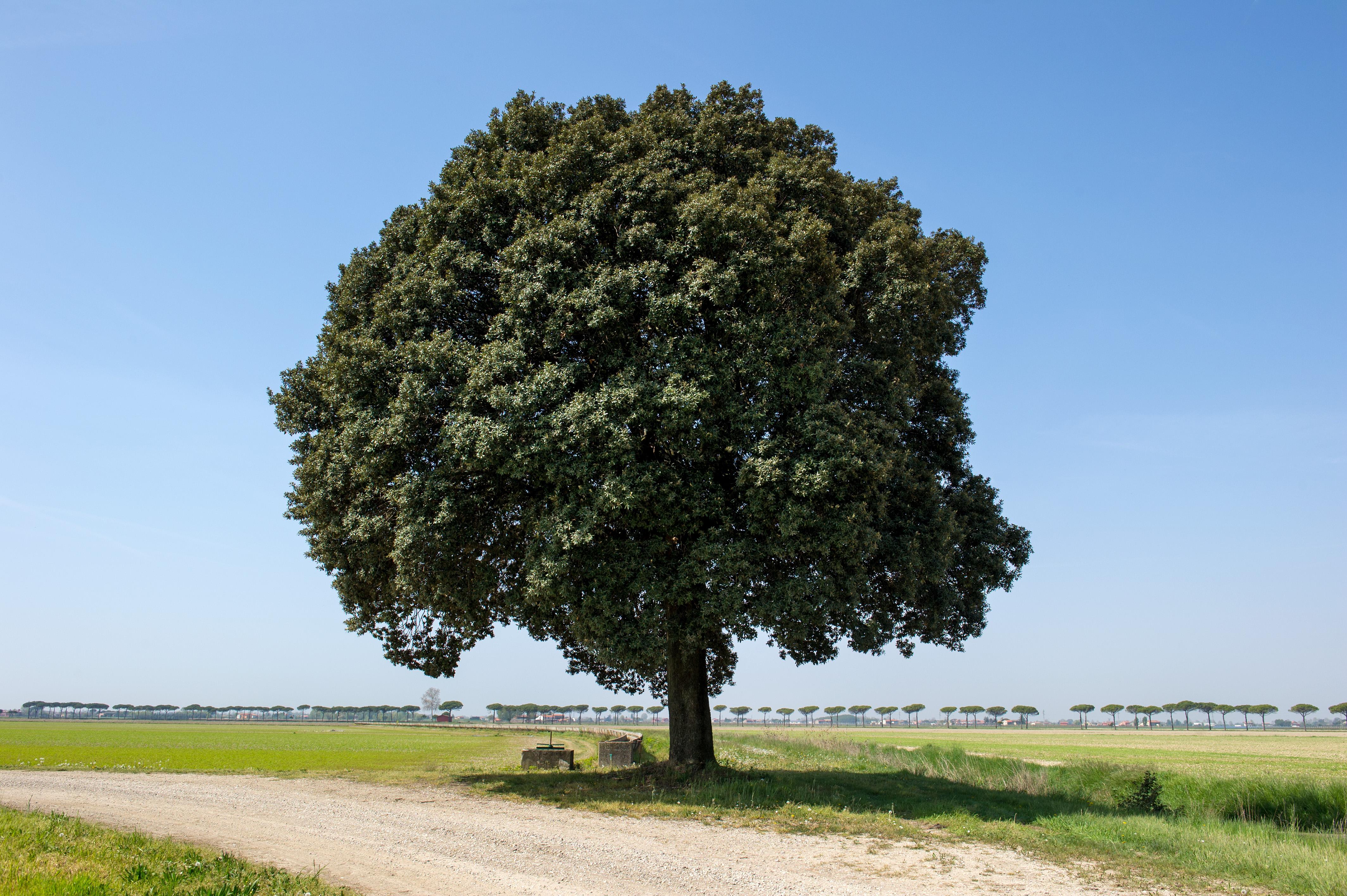 Quercus Ilex_ Il leccio nella tenuta di Cortellazzo