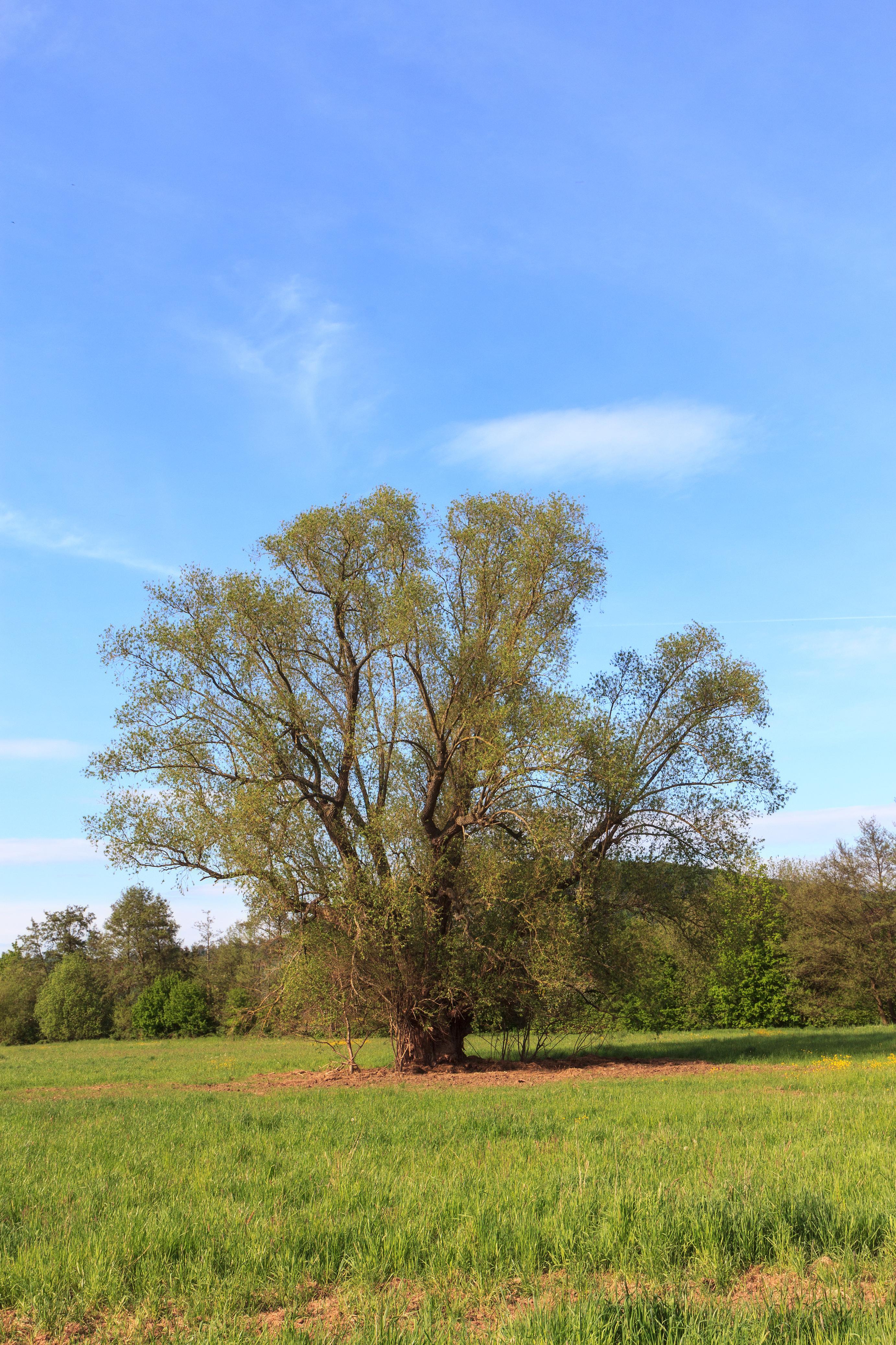 Salix alba_wikimedia commons
