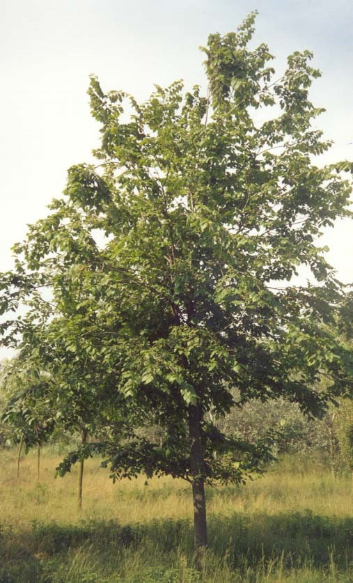Ulmus_minor