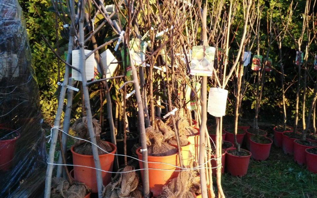 Trapianto alberi di frutto