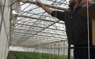 Legatura delle piantine e sarchiatura manuale in serra