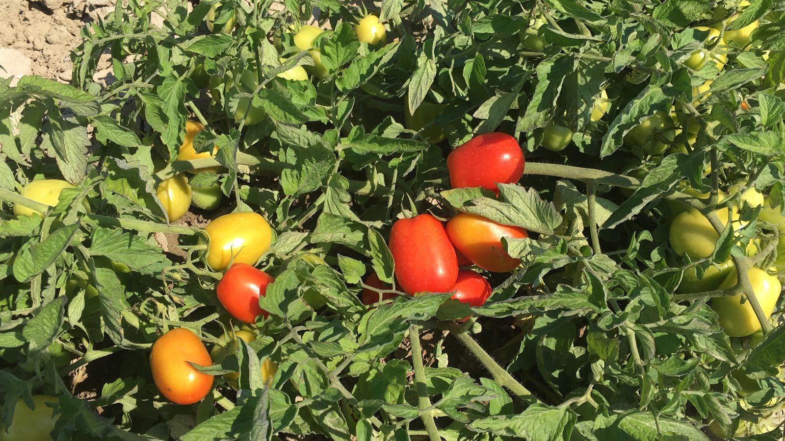 pomodoro da salsa 18 luglio 2018 3