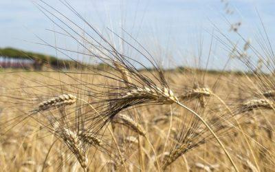 I nostri grani teneri delle vecchie varietà Pannonikus e Piave