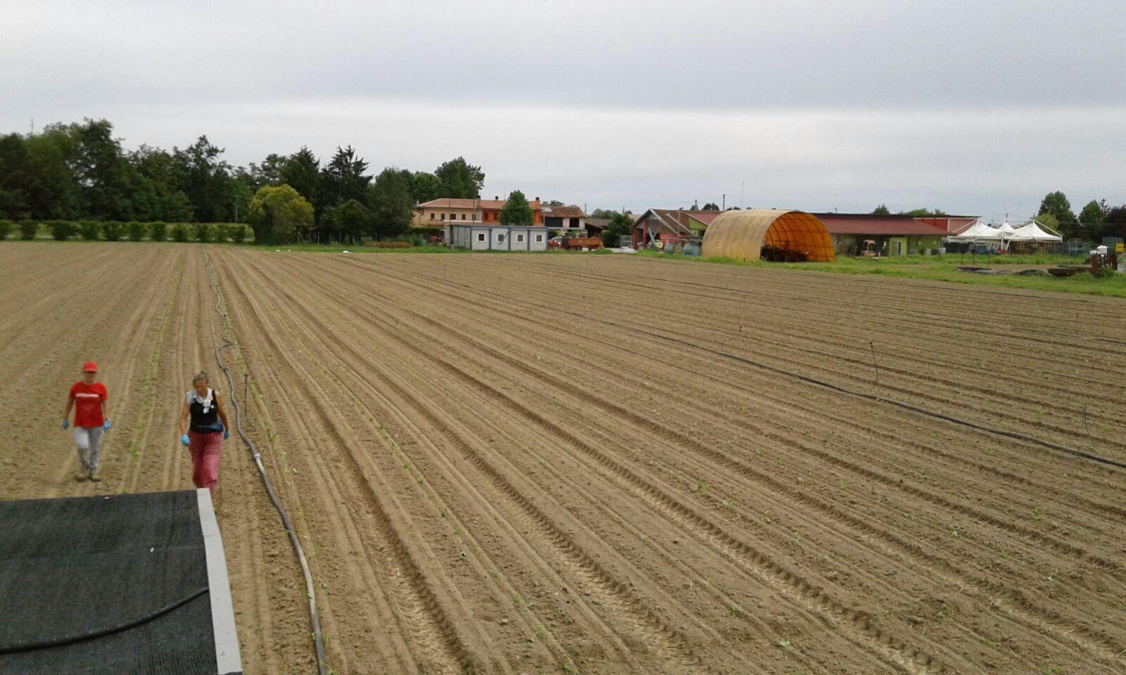Il campo dedicato al quarto trapianto di zucchine