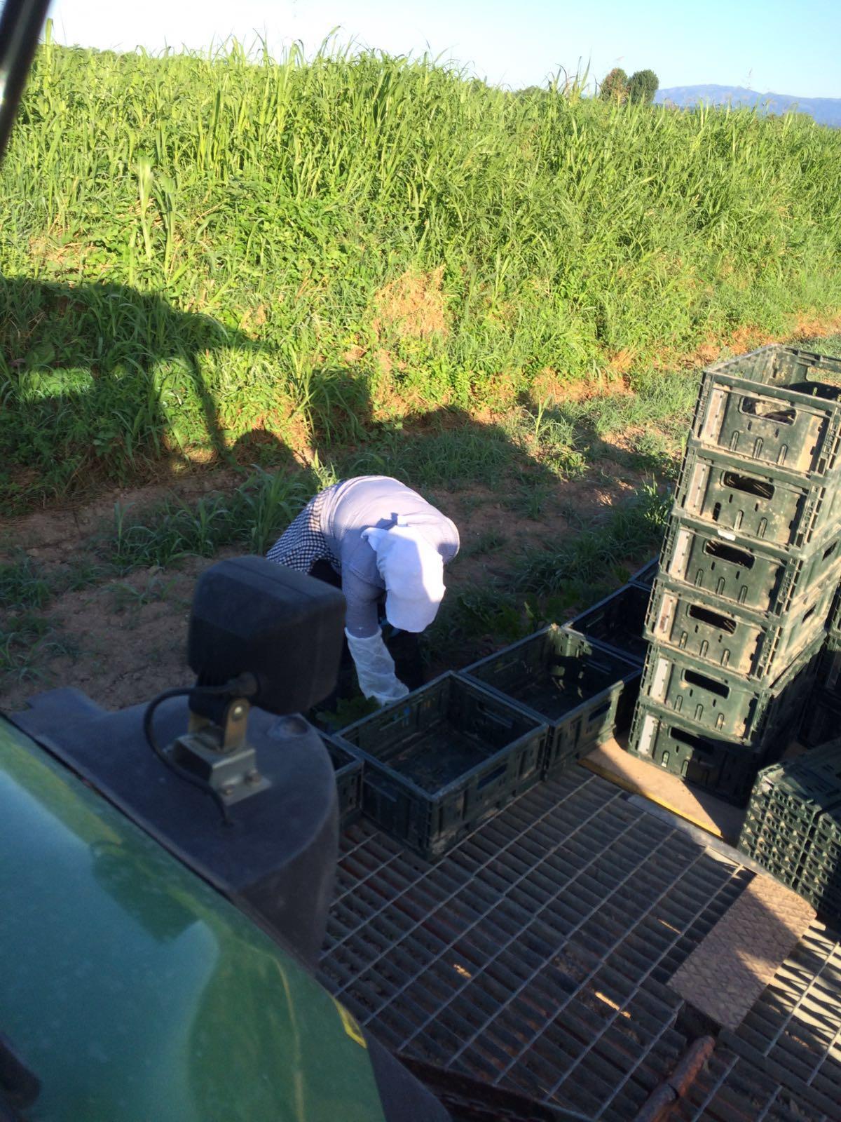 La raccolta delle zucchine