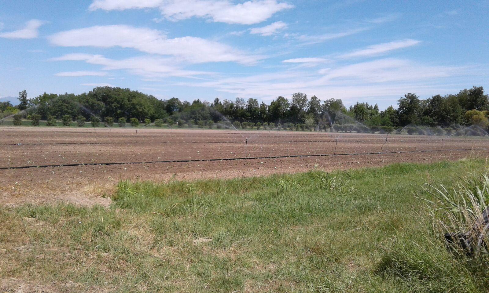 L'irrigazione delle zucchine appena trapiantate