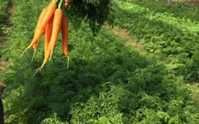 Le carote