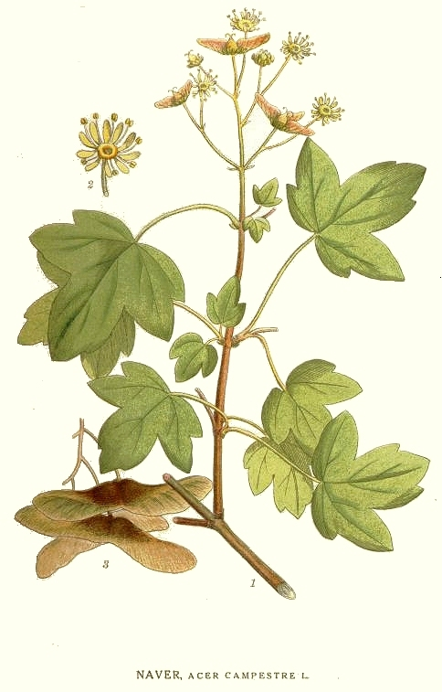 Acer_campestre_ill_fonte wikimedia commons