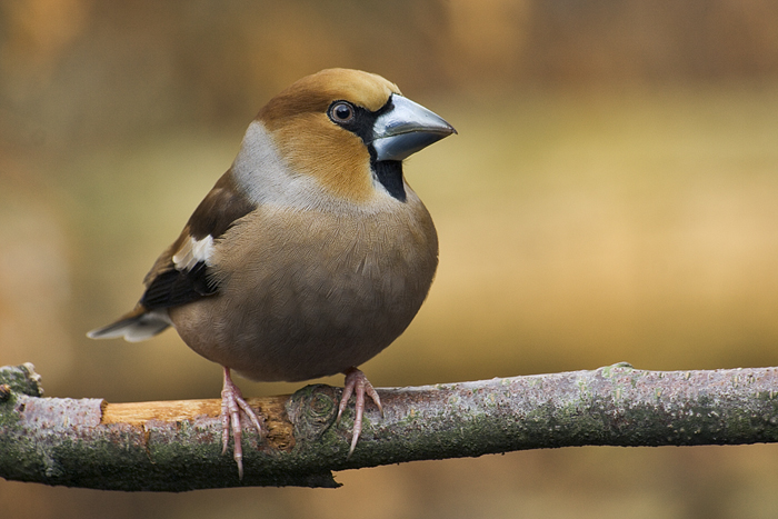 Coccothraustes_coccothraustes_ fonte wikimedia commons