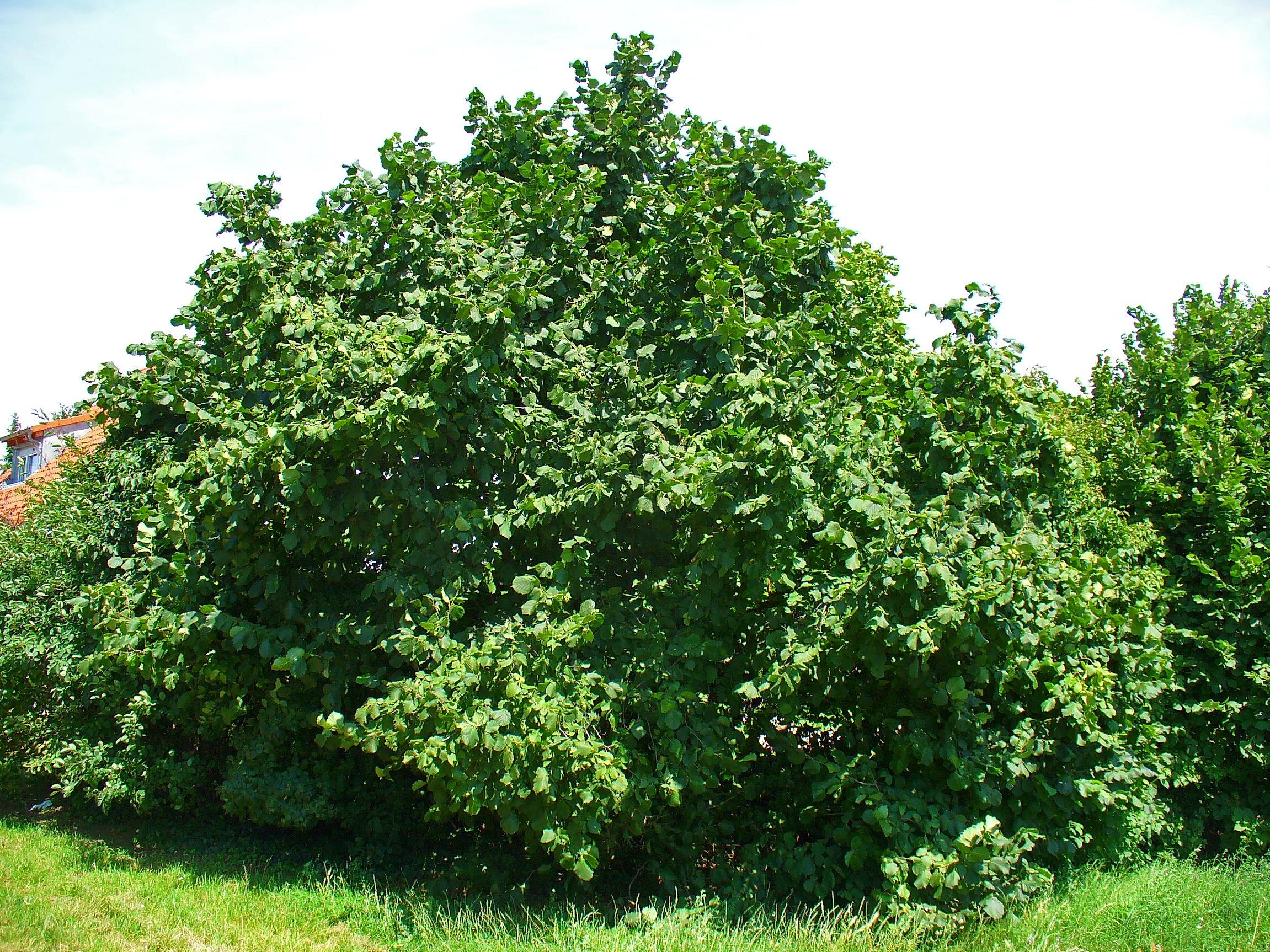 Corylus_avellana_fonte wikipediacommons