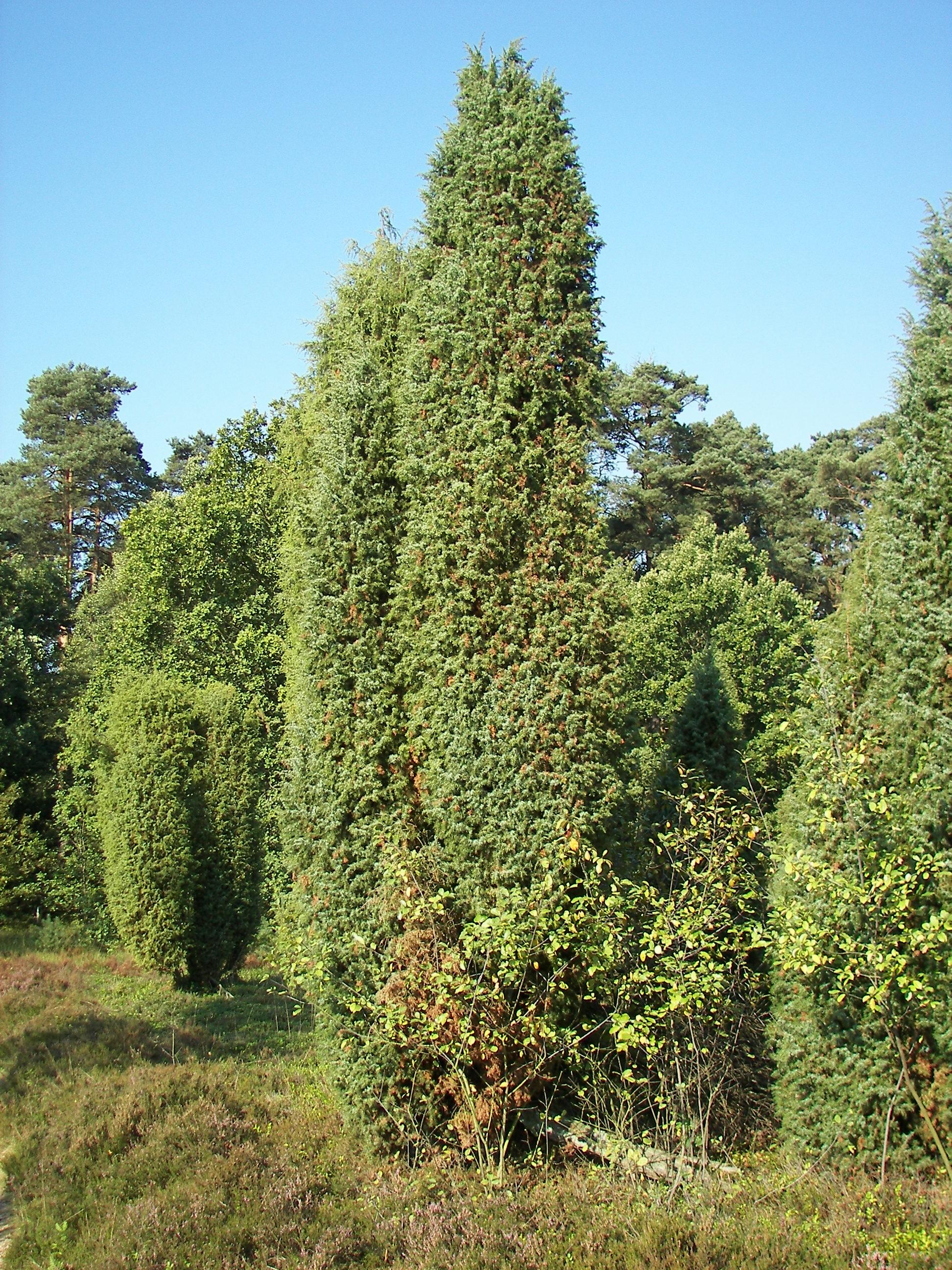 Juniperus communis_ fonte wikipedia commons