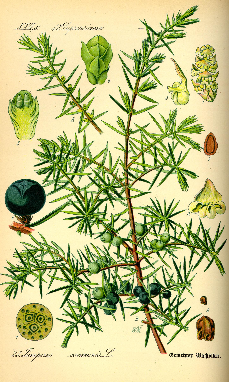 Juniperus_communis illustrazione_ fonte wikipedia commons