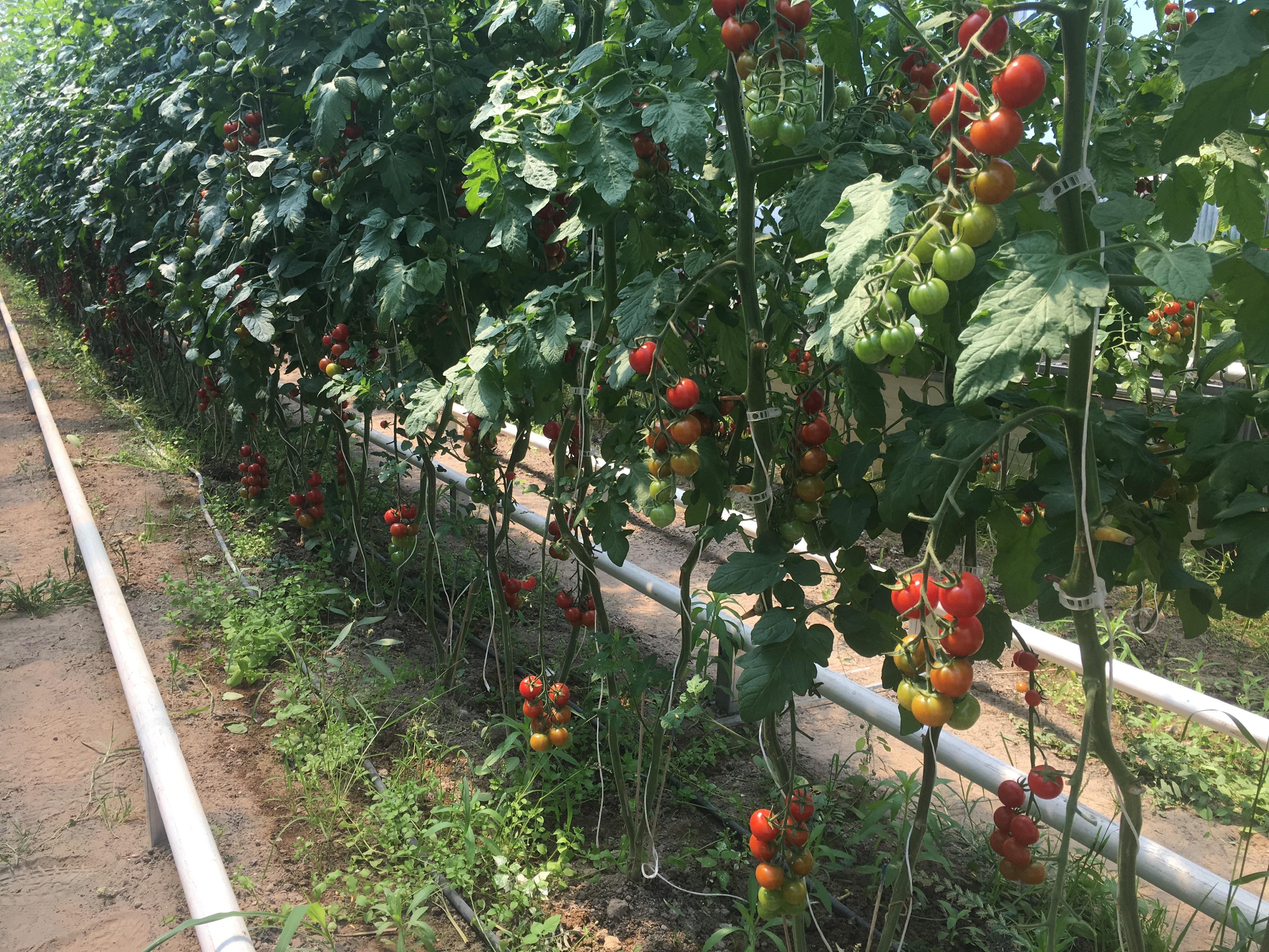 Pomodori ciliegino 1