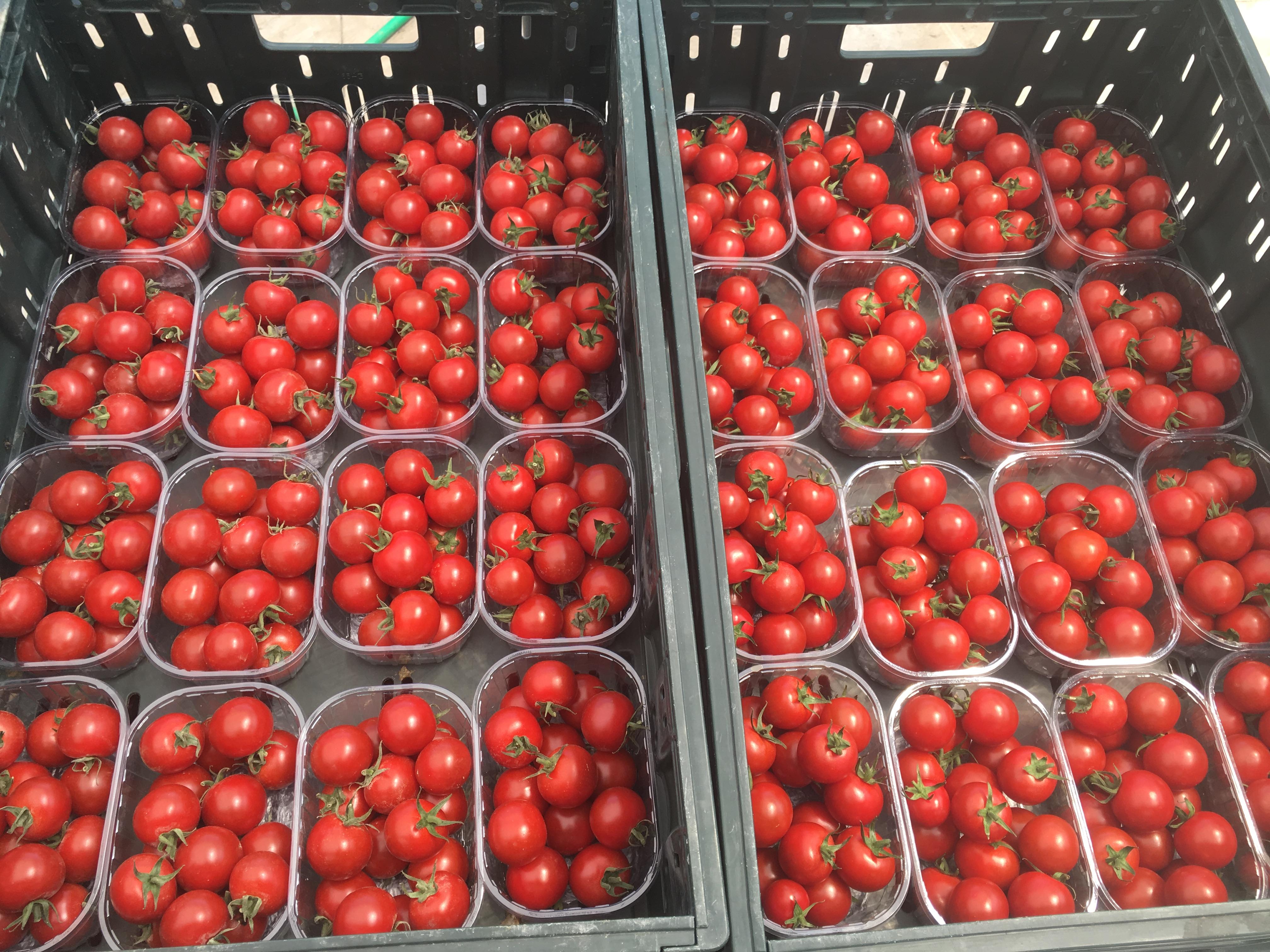 Pomodori ciliegino 6