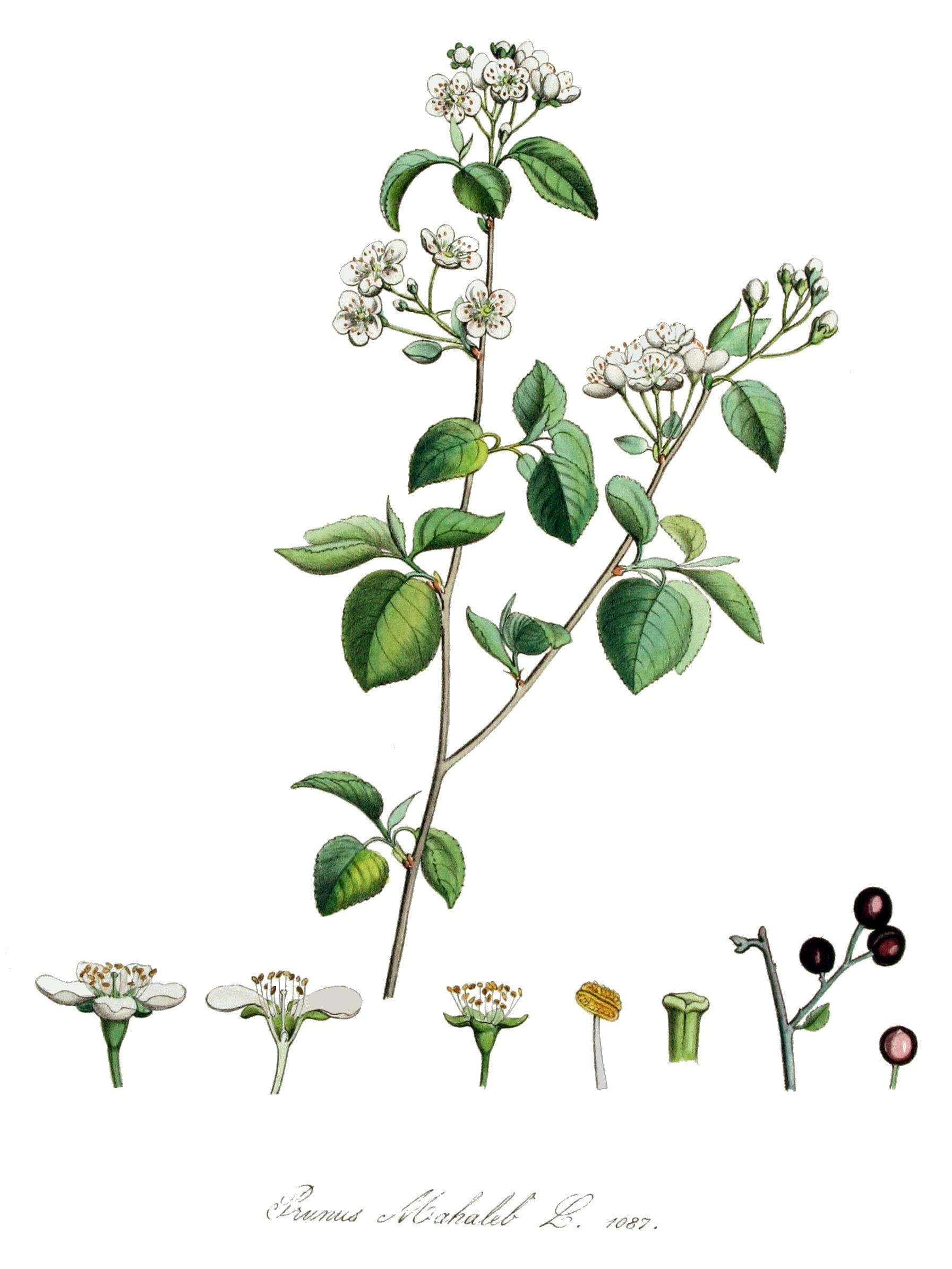 Prunus_mahaleb_fonte wikipedia commons
