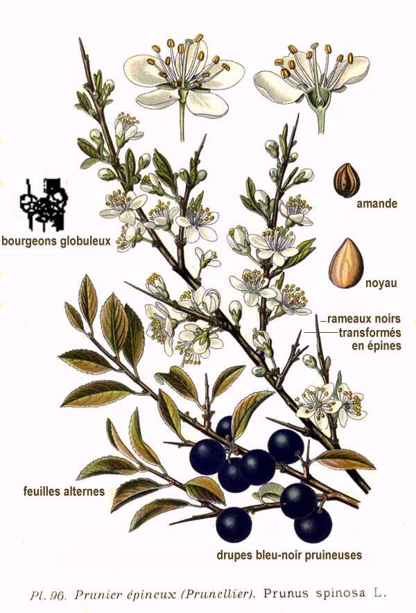 Prunus_spinosa_fonte wikipedia commons