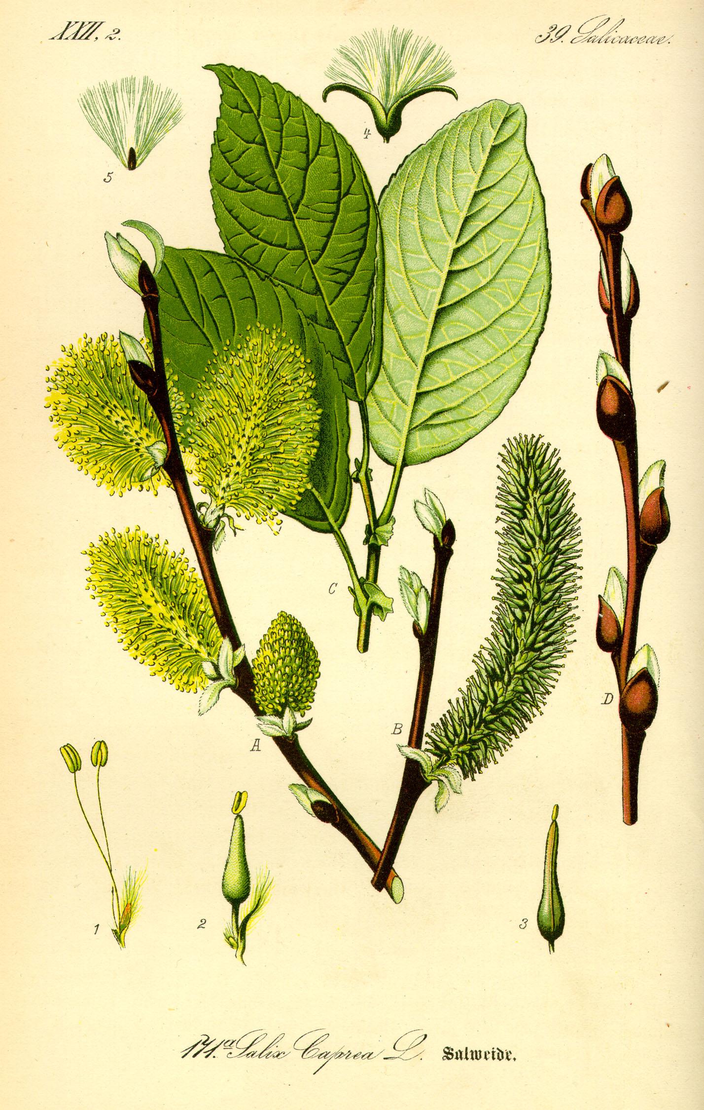 Salix_caprea_ fonte wikimedia commons 2