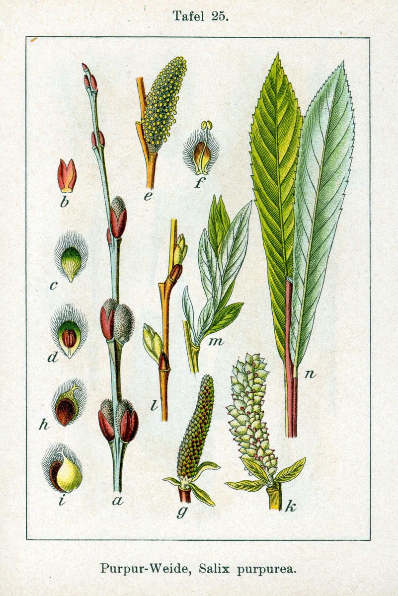 Salix_purpurea_fonte wikipedia it