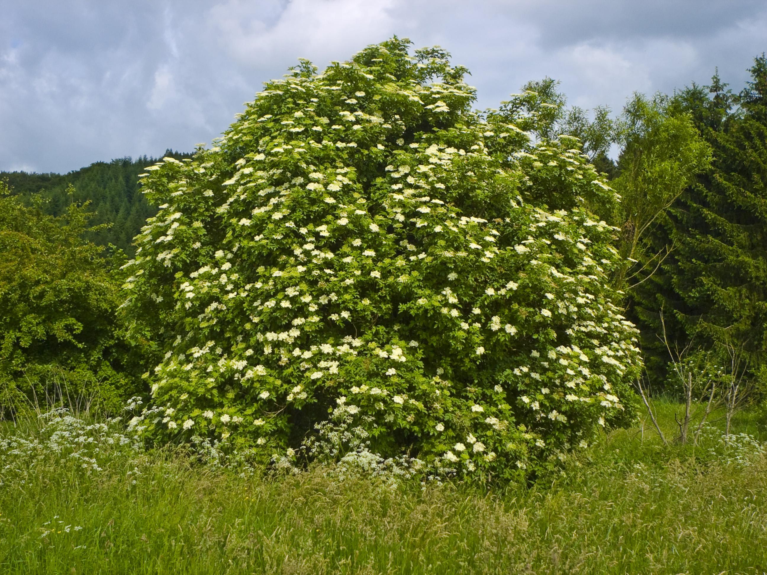 Sambucus_nigra_fonte wikipedia commons
