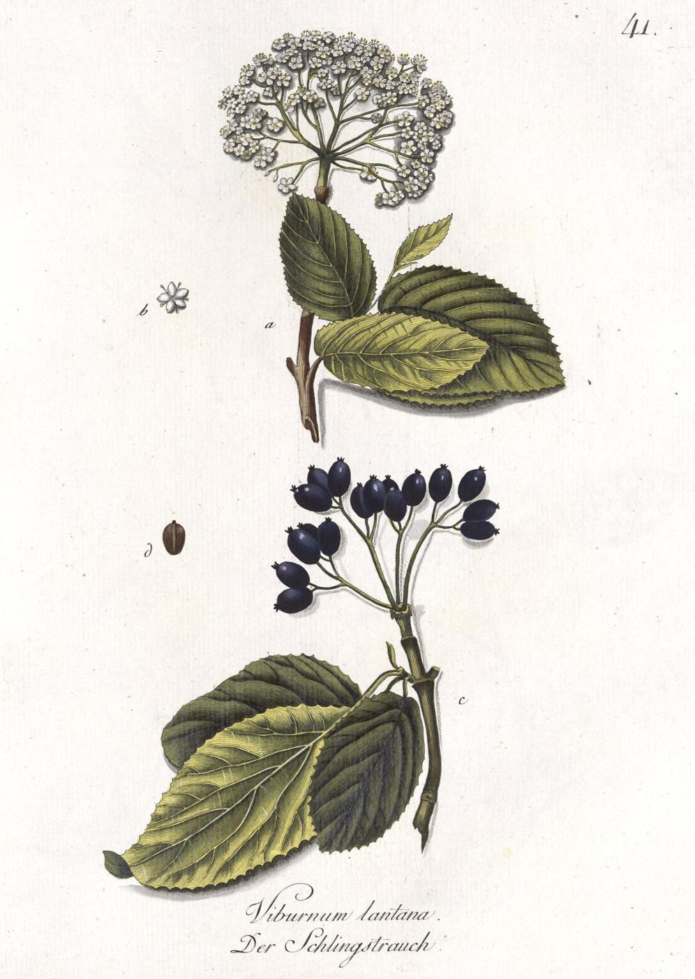 Viburnum lantana_ fonte wikipedia es