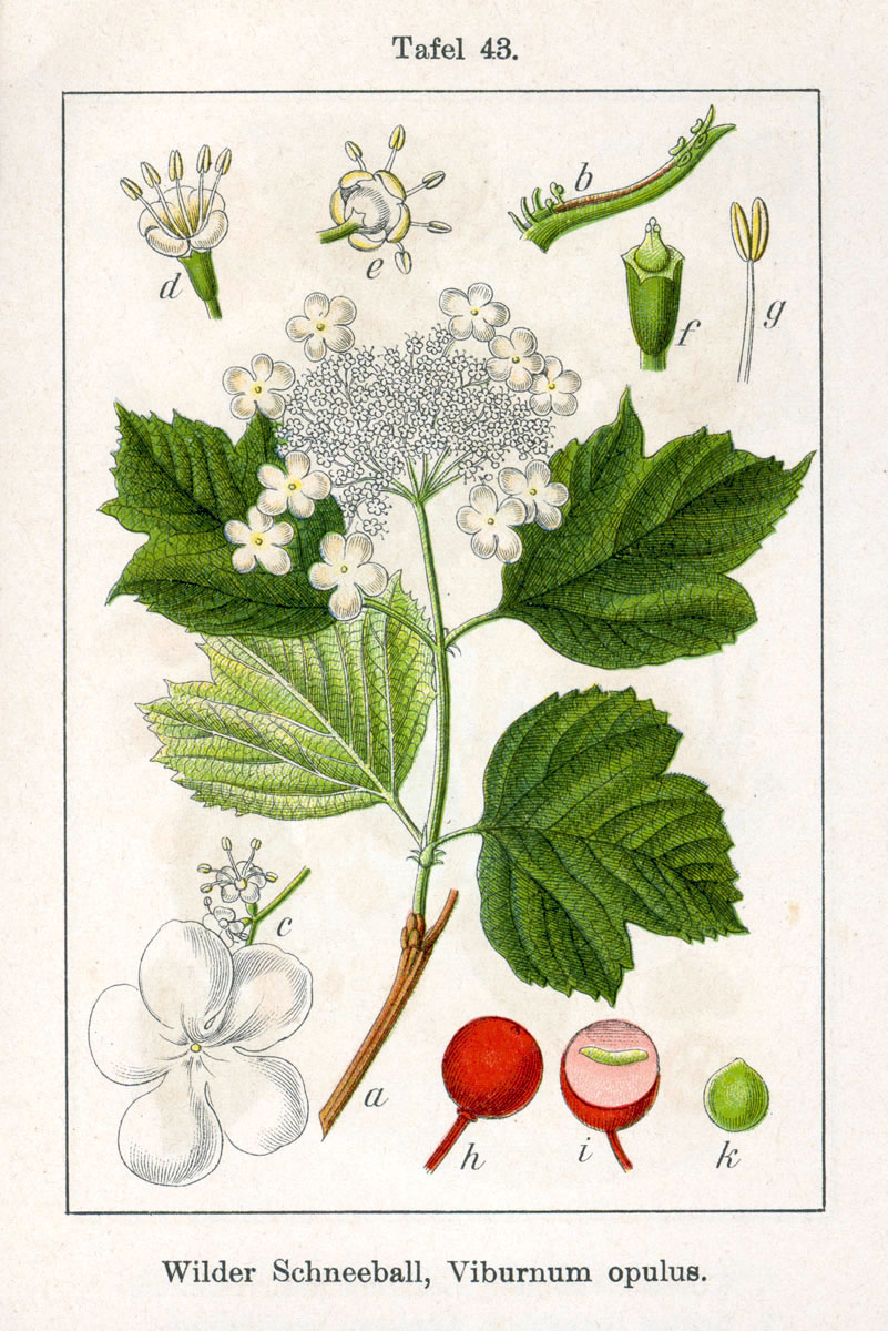Viburnum_opulus_fonte wikimedia commons