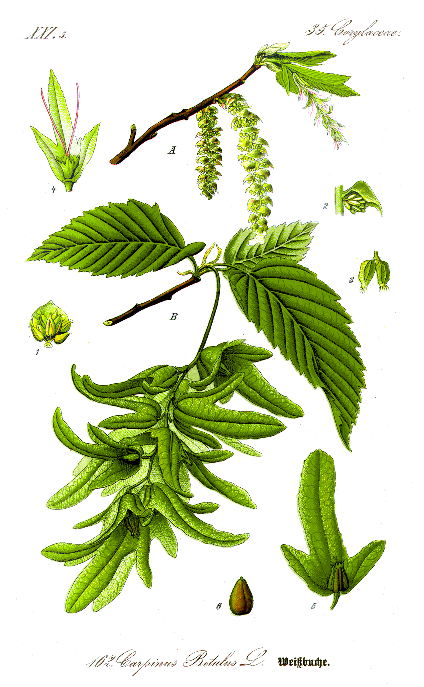 Carpinus_betulus_fonte wikipedia