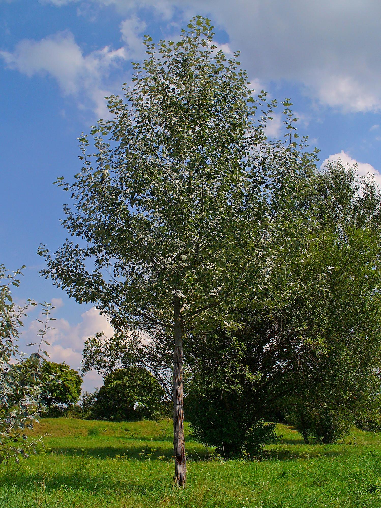 Populus_alba_fonte wikipedia commons